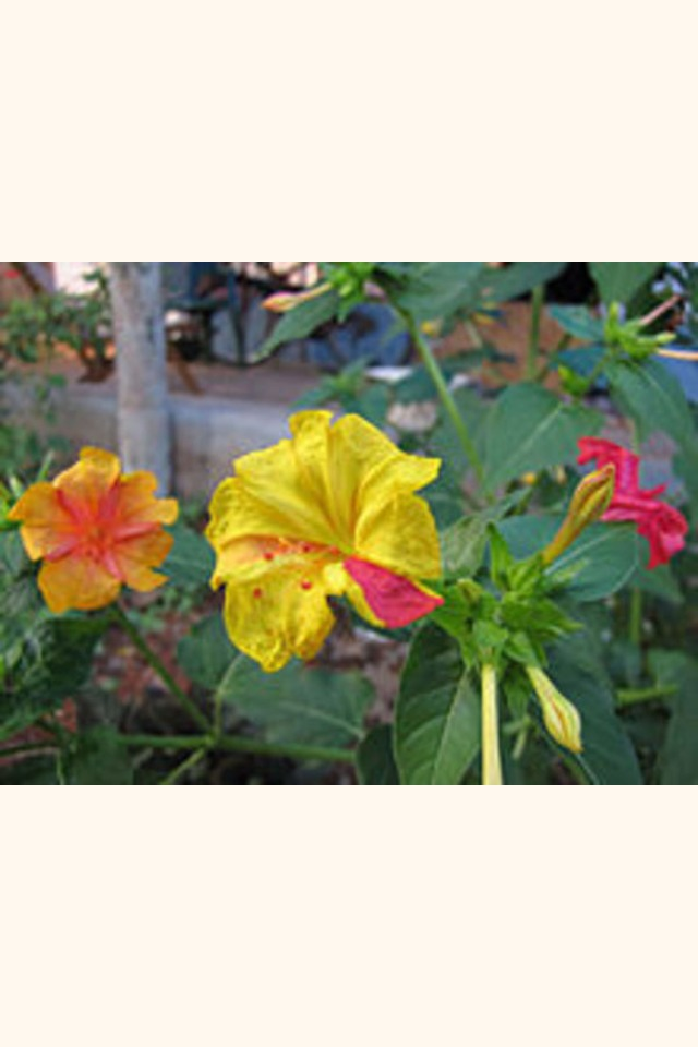 Slider_220px-mirabilis-jalapa-in-different-colors