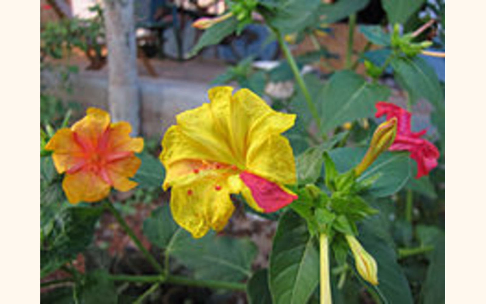 Slider_big_220px-mirabilis-jalapa-in-different-colors