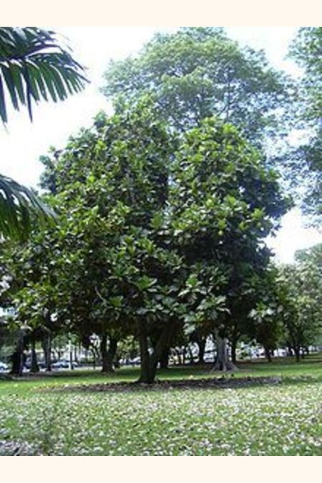 Slider_220px-breadfruit_tree