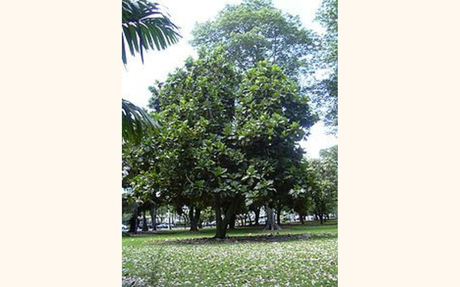 Slider_big_220px-breadfruit_tree