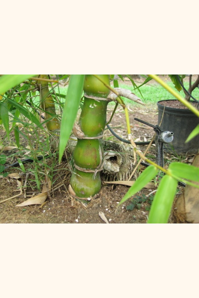 Slider_buddha_belly_bamboo__bambusa_vulgaris_wamin__trunk
