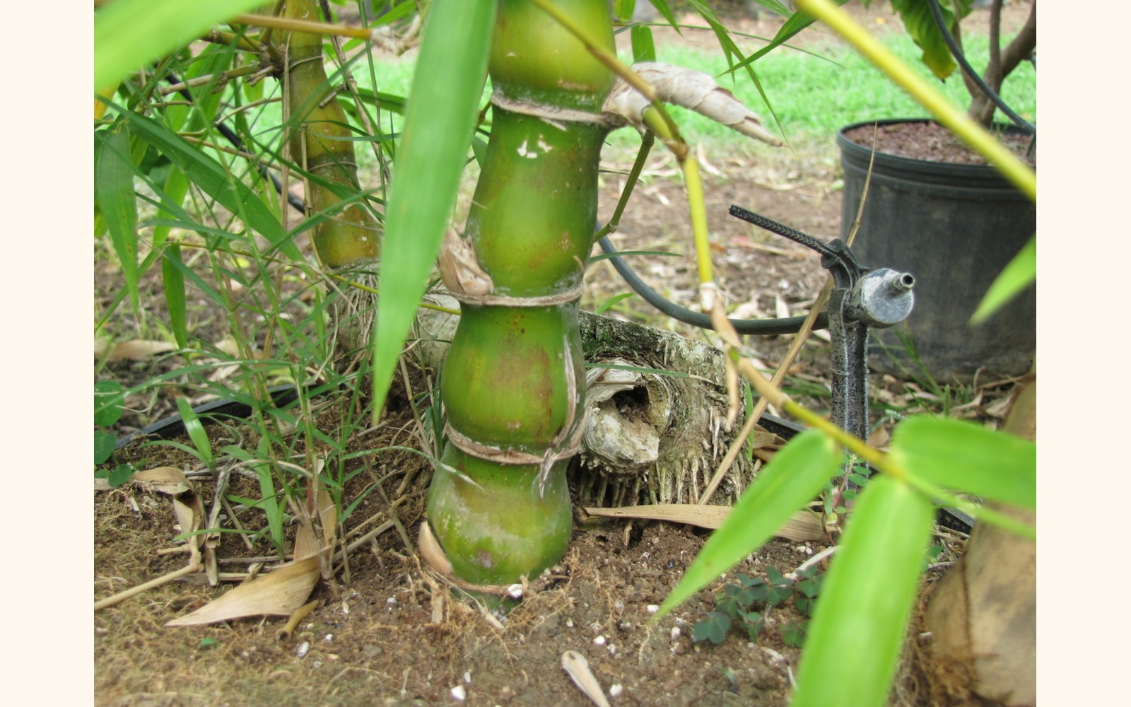 Slider_big_buddha_belly_bamboo__bambusa_vulgaris_wamin__trunk
