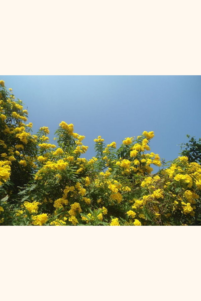 Slider__tecoma_stans__yellow_bell_flowers_at_tenneti_park_02