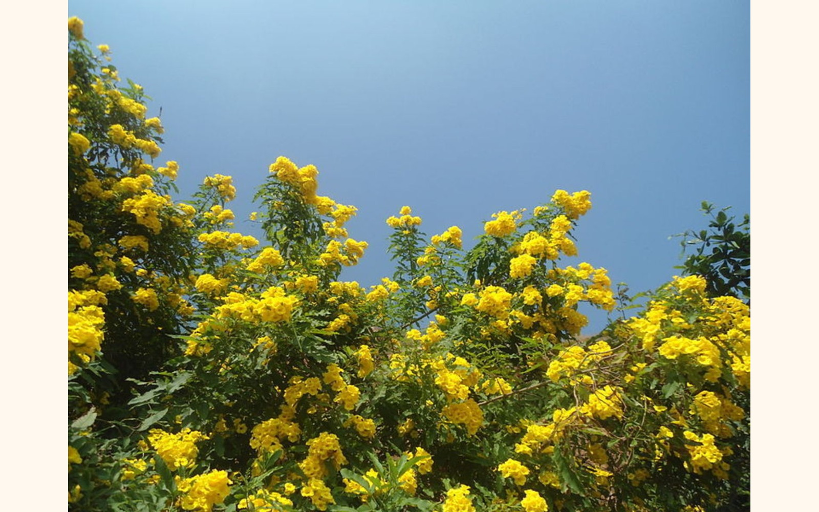 Slider_big__tecoma_stans__yellow_bell_flowers_at_tenneti_park_02