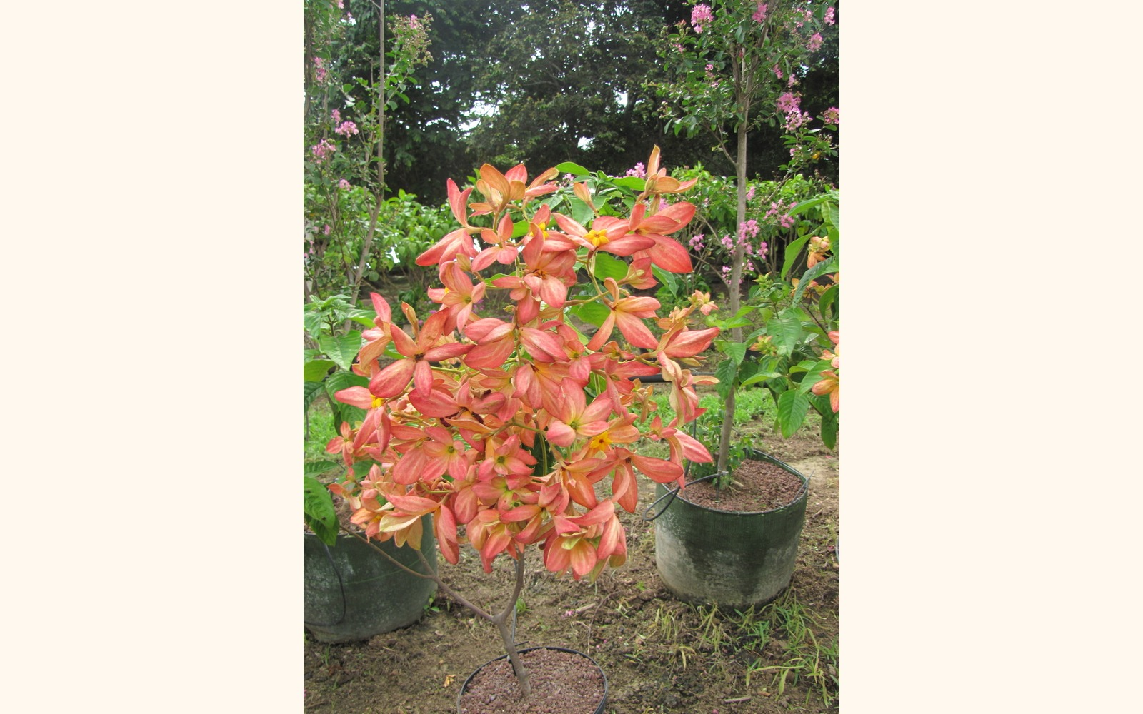 Slider_big_musseanda_anarajanda__mussaenda_erythrophylla__orange_flower