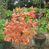 Thumb_musseanda_anarajanda__mussaenda_erythrophylla__orange_flower