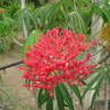Spicy Jatropha, Peregina