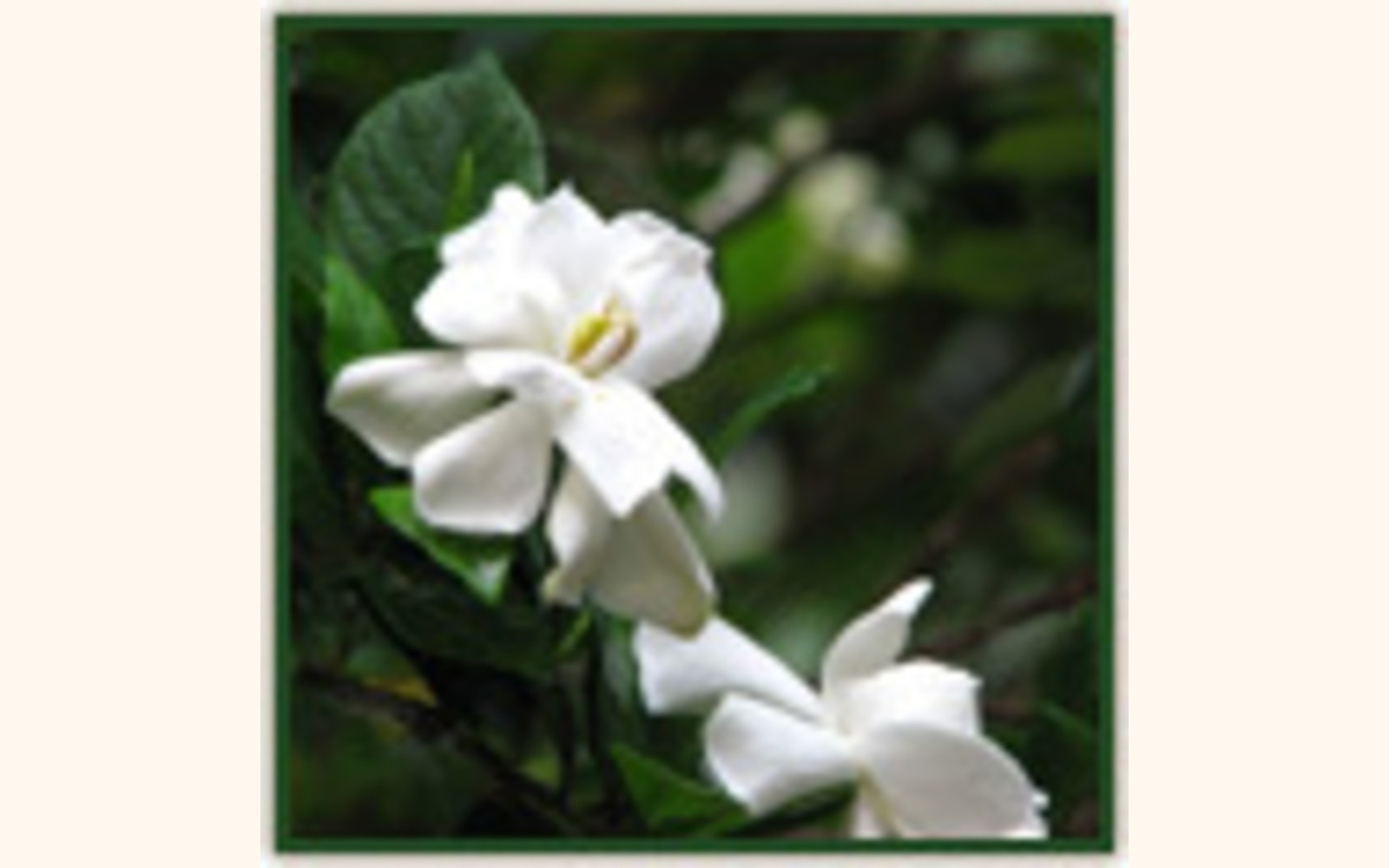 Slider_big_gardenias_june