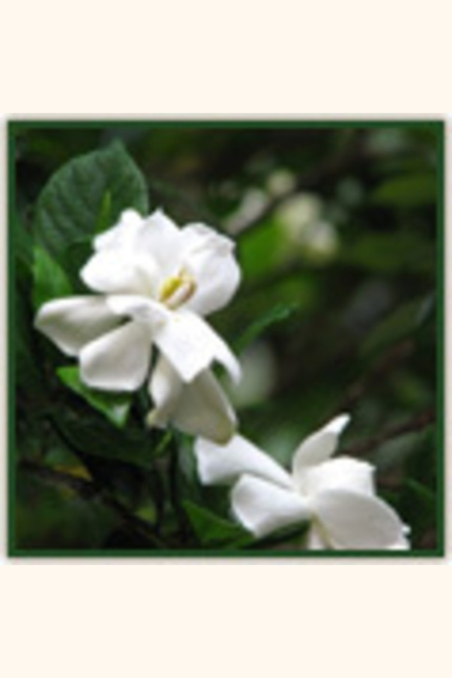 Slider_gardenias_june