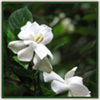Thumb_gardenias_june
