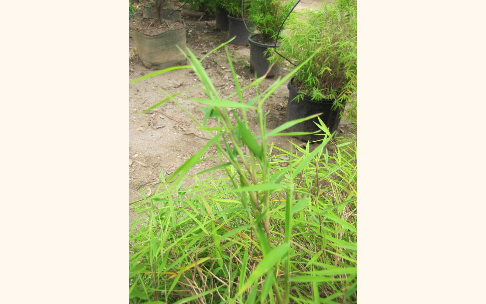 Slider_big_dwarf_chinese_bamboo__pogonatherum_sp.____leaf