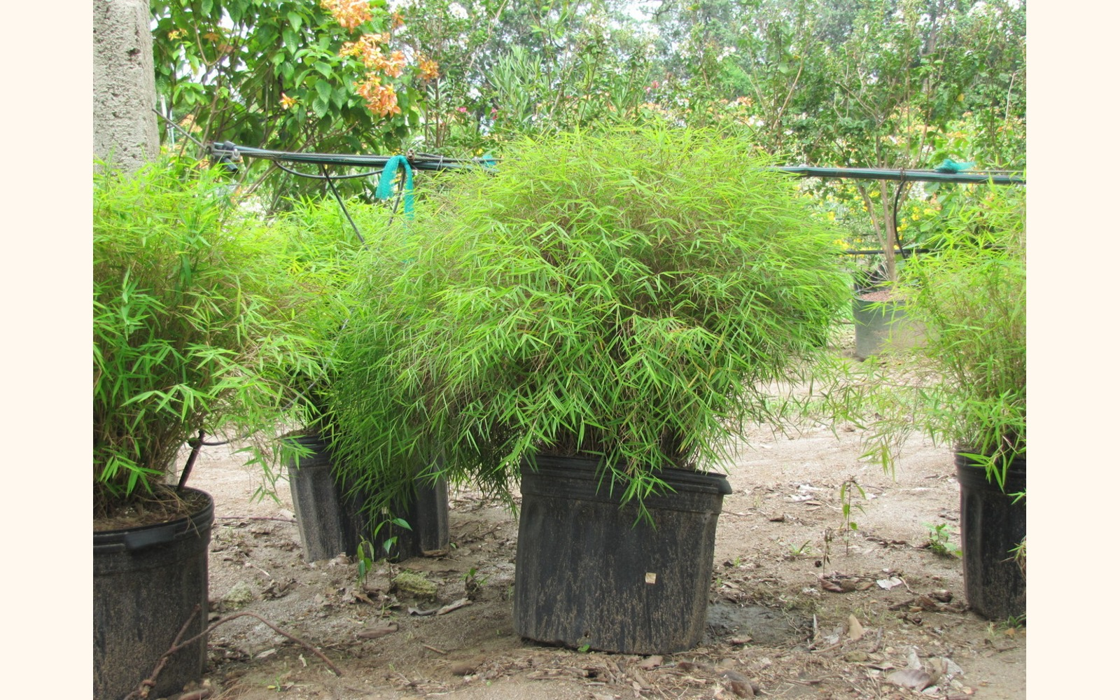 Slider_big_dwarf_chinese_bamboo__pogonatherum_sp.___