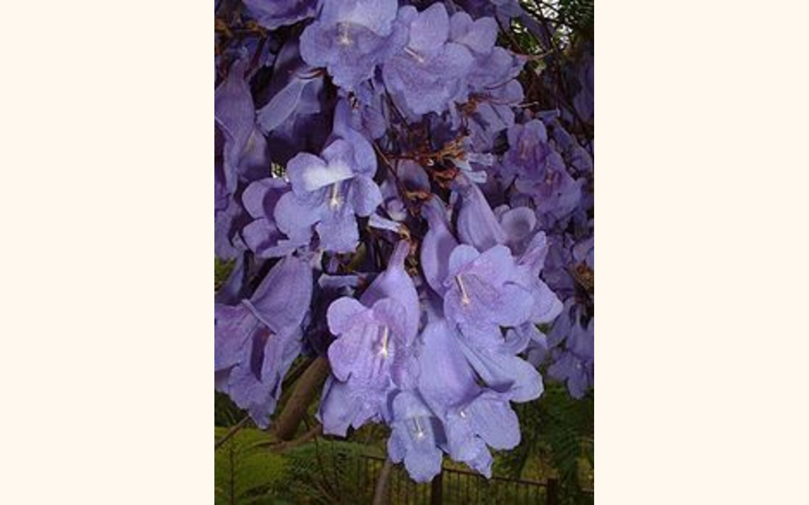Slider_big_220px-bluejacarandaflowers