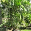 Areca, Golden feather palm, Butterfly, Yellow