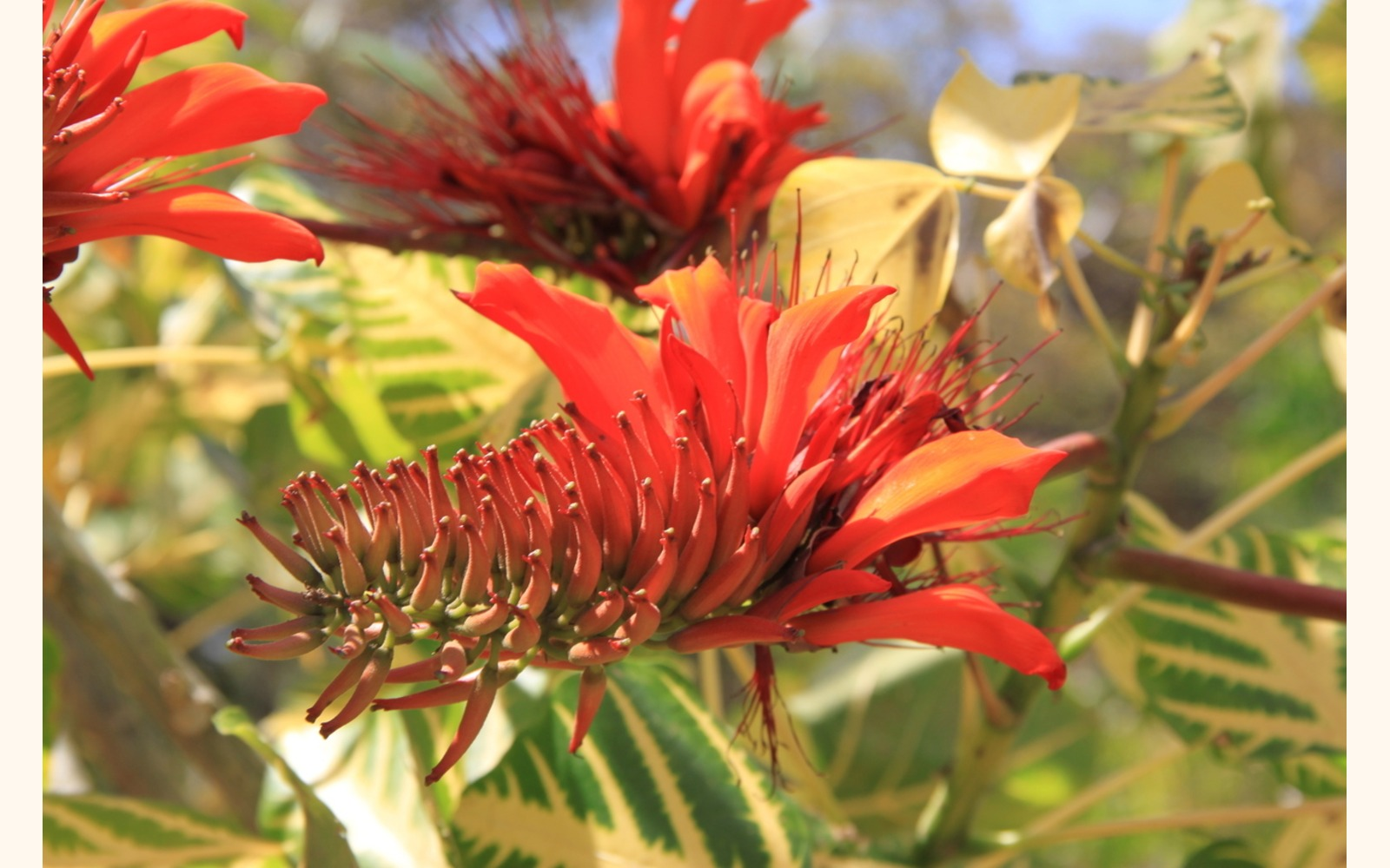 Slider_big_erythrina_variegata_flower_