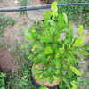 Thumb_miracle_fruit_plant